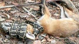 Yılan mı tilkiyi yedi, yoksa biz mi kafayı yedik?..