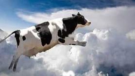 Gökten inek yağdı!