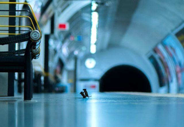Doğal yaşam fotoğrafları: Dövüşen metro fareleri halk jürisi ödülünü kazandı - Sayfa 1